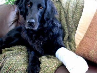 Dog with bandage on paw
